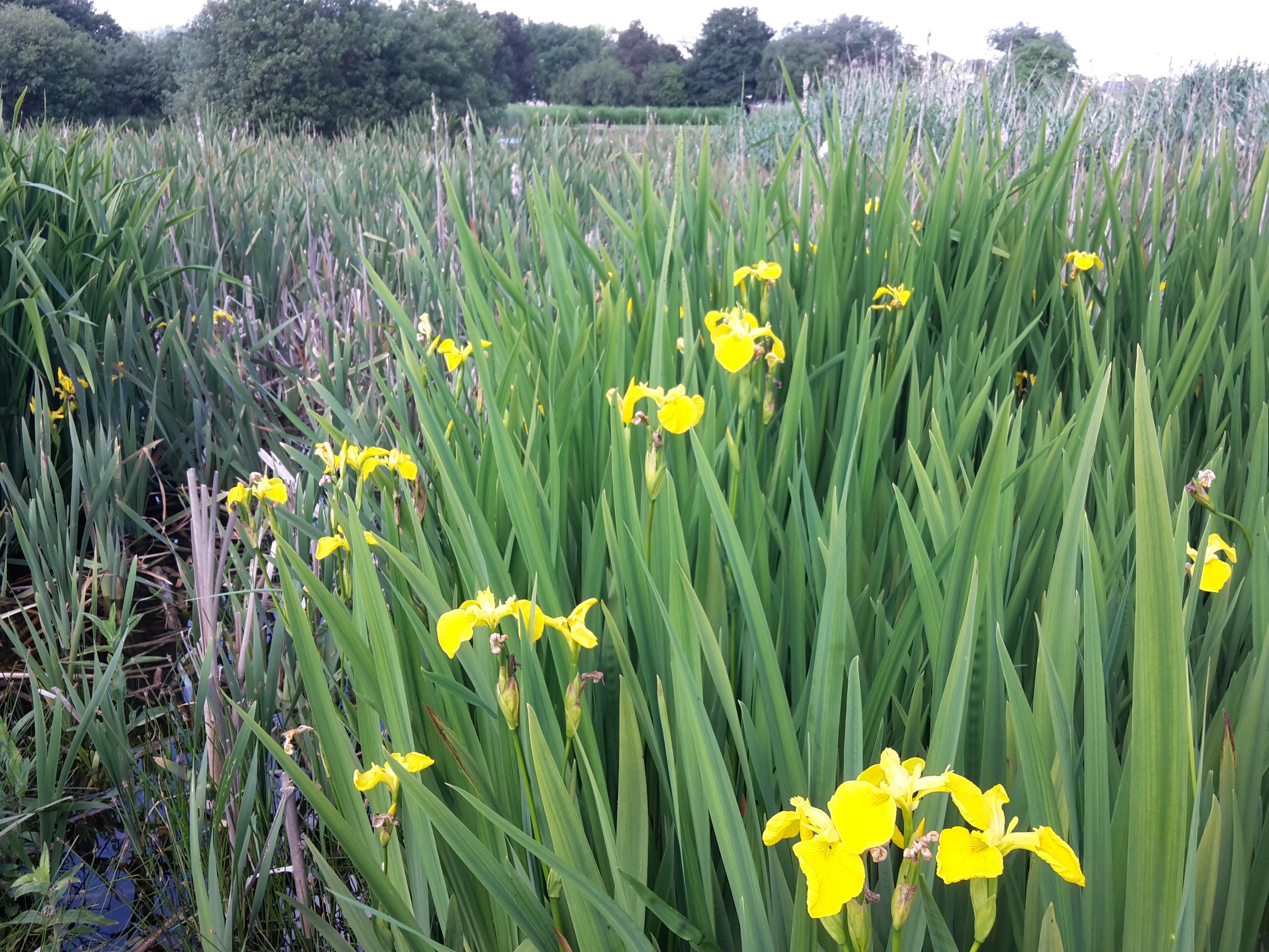 East Common Tayport  Flag Iris growing in pond